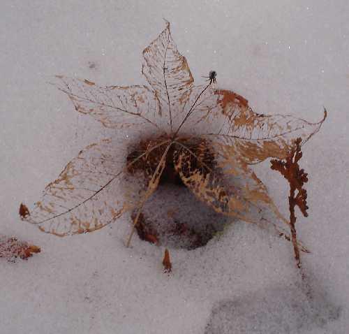 Trientalis borealis image