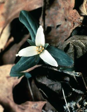 Trillium nivale image