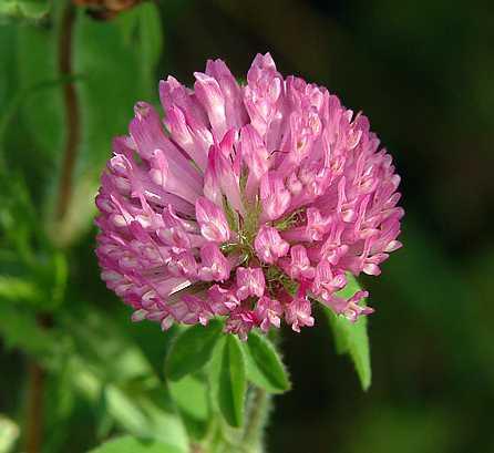 Trifolium image