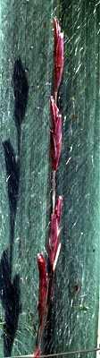 Triplasis image