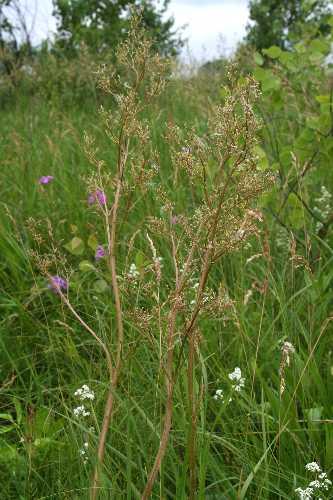 Valeriana edulis subsp. ciliata image
