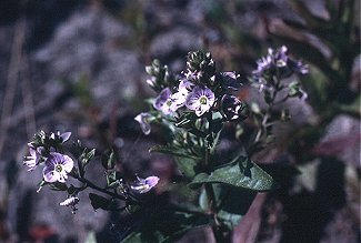 Veronica beccabunga var. americana image
