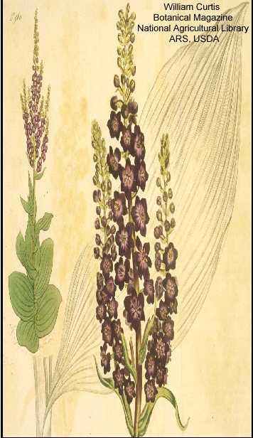 Verbascum nigrum image