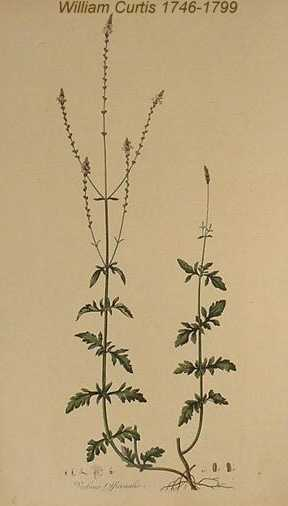 Veronica officinalis image