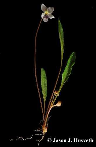 Viola lanceolata var. lanceolata image