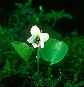 Viola macloskeyi subsp. pallens image