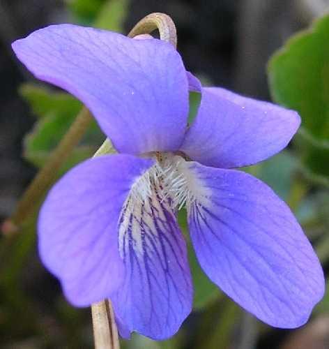 Violaceae image