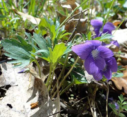 Viola X palmata image