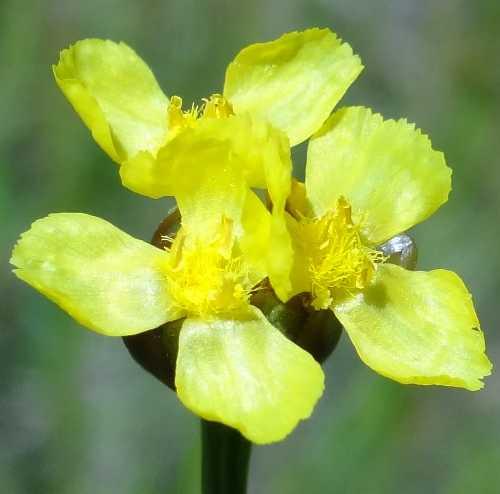 Xyridaceae image