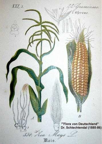 Zea mays subsp. mays image