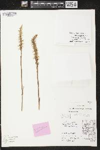Spiranthes magnicamporum image