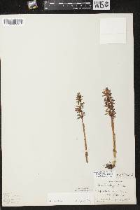 Corallorhiza striata var. striata image