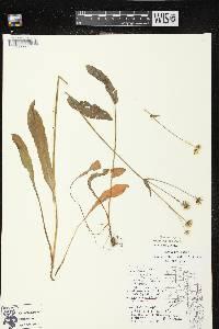 Krigia biflora subsp. biflora image