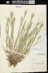 Dichanthelium acuminatum image
