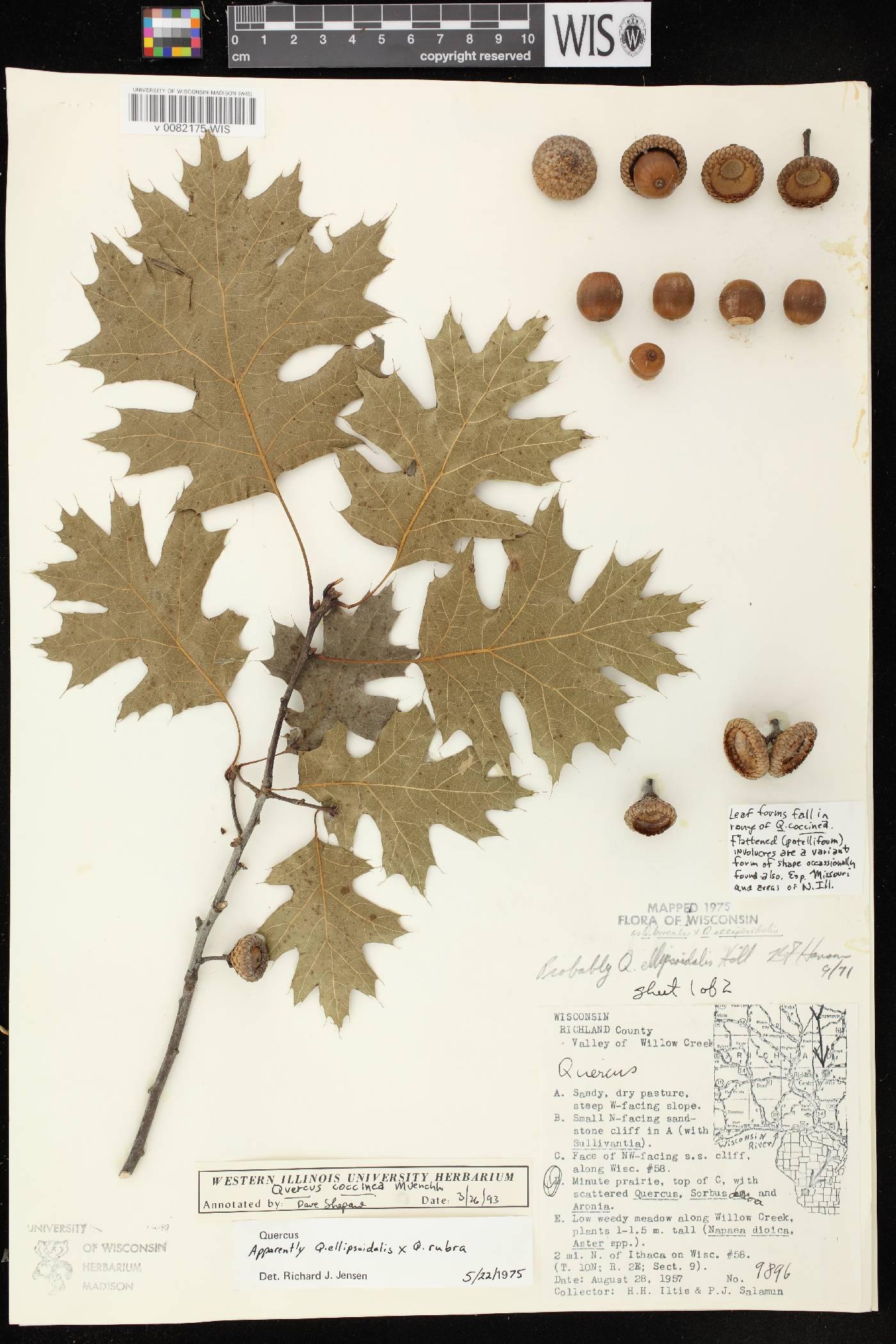 Quercus ellipsoidalis X Q. rubra image