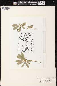 Lupinus perennis var. occidentalis image