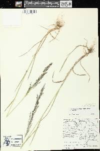 Calamagrostis canadensis var. canadensis image