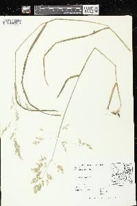 Poa sylvestris image