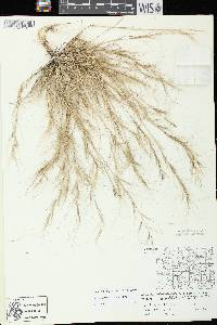 Aristida oligantha image