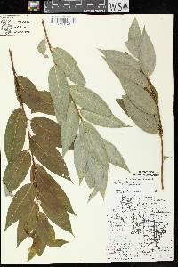 Salix pentandra image