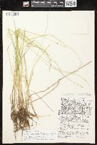 Carex canescens subsp. canescens image