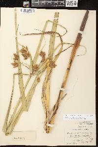 Bolboschoenus fluviatilis image
