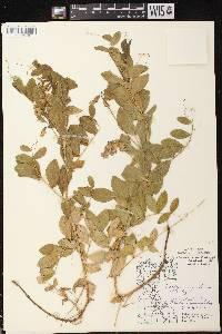Lathyrus japonicus var. maritimus image