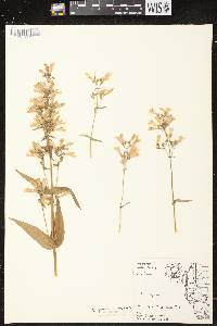 Penstemon gracilis image