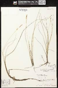 Carex livida image