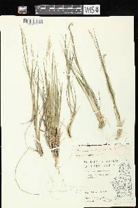 Dichanthelium perlongum image