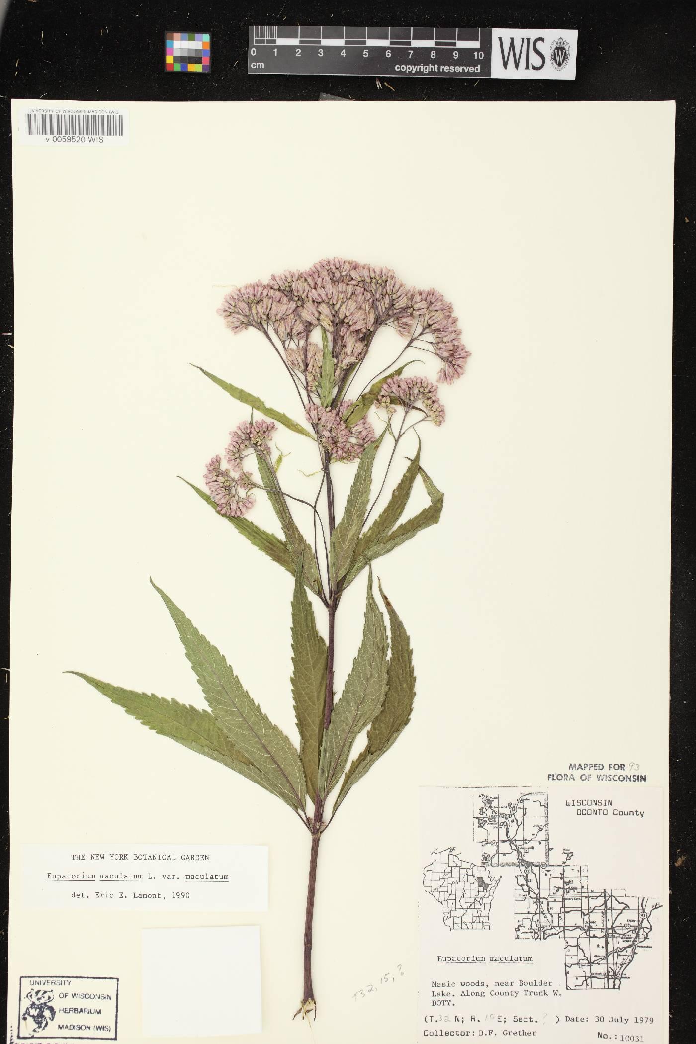 Eutrochium maculatum var. maculatum image