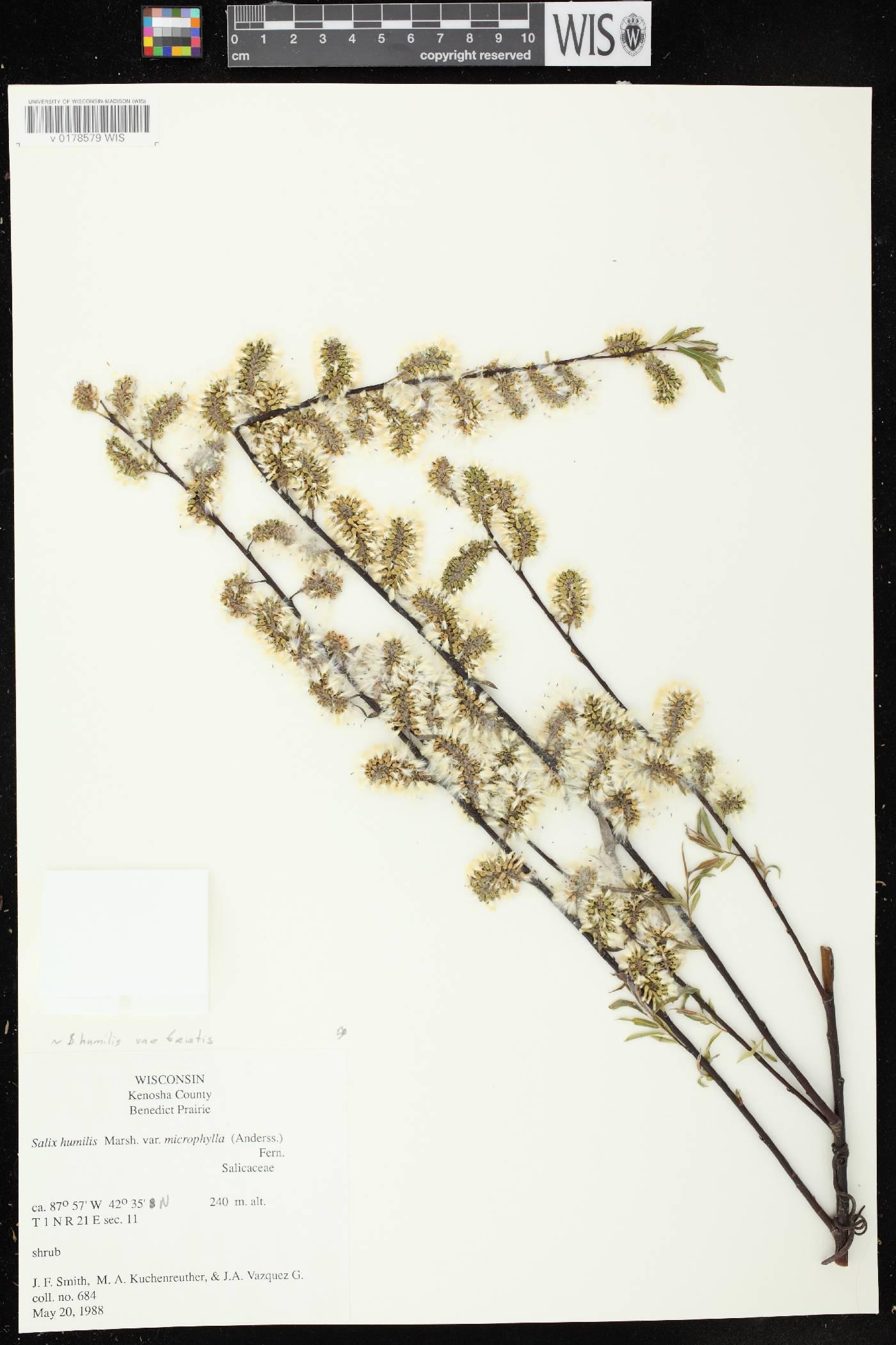Salix humilis var. tristis image