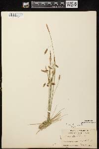 Carex limosa image