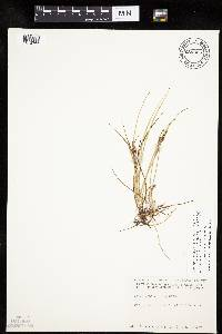 Image of Carex lenticularis