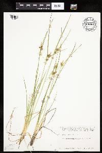 Image of Carex viridula