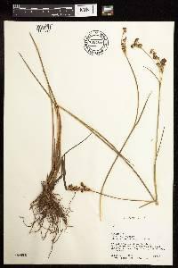 Juncus canadensis image