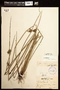 Juncus effusus image