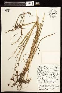 Image of Juncus ensifolius