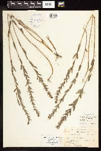 Image of Lythrum alatum