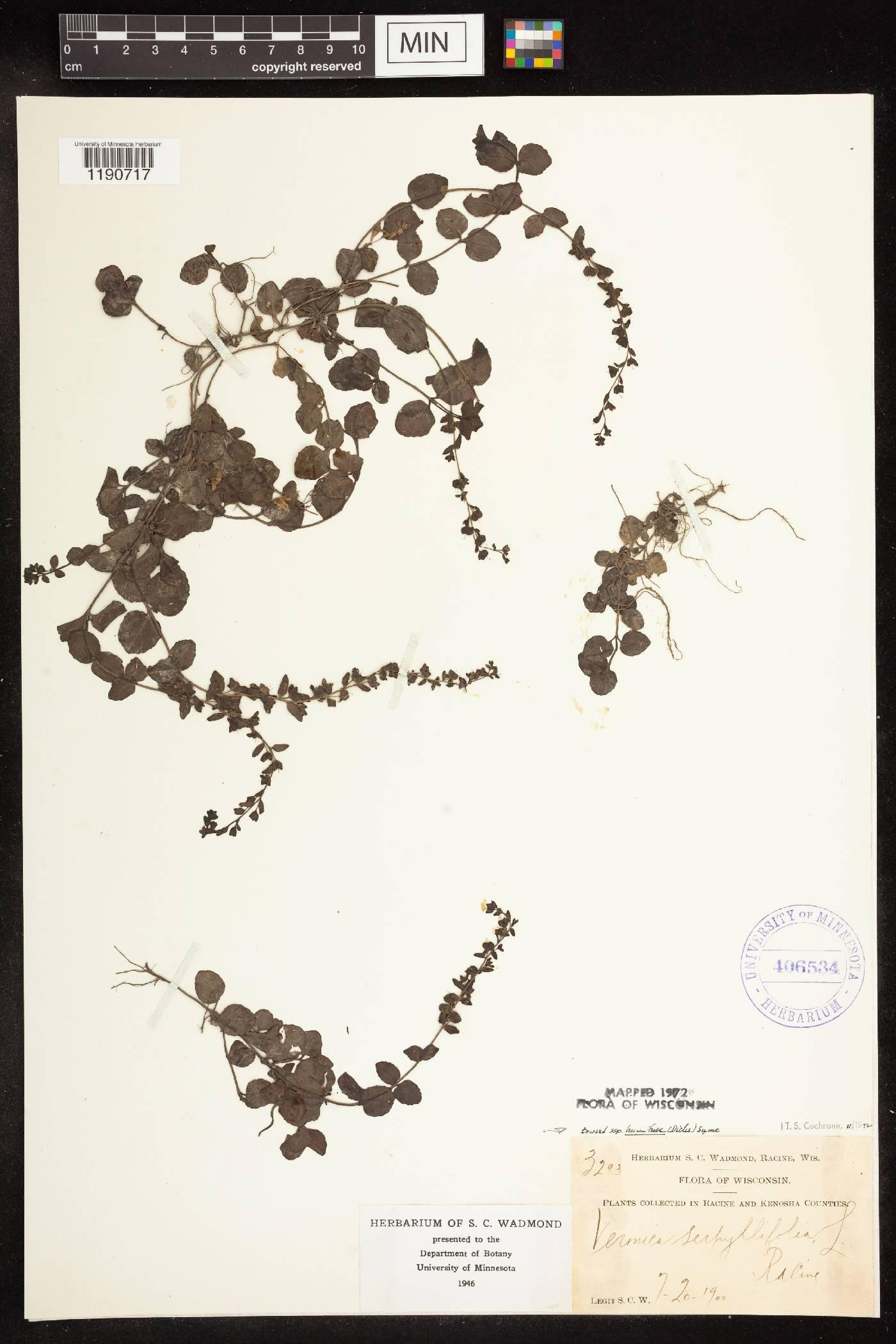 Veronica serpyllifolia subsp. humifusa image