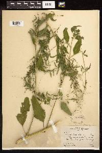 Image of Chenopodium standleyanum