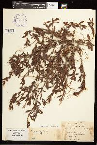 Image of Polygonum aviculare subsp. aviculare