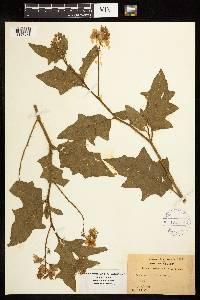 Image of Solanum carolinense