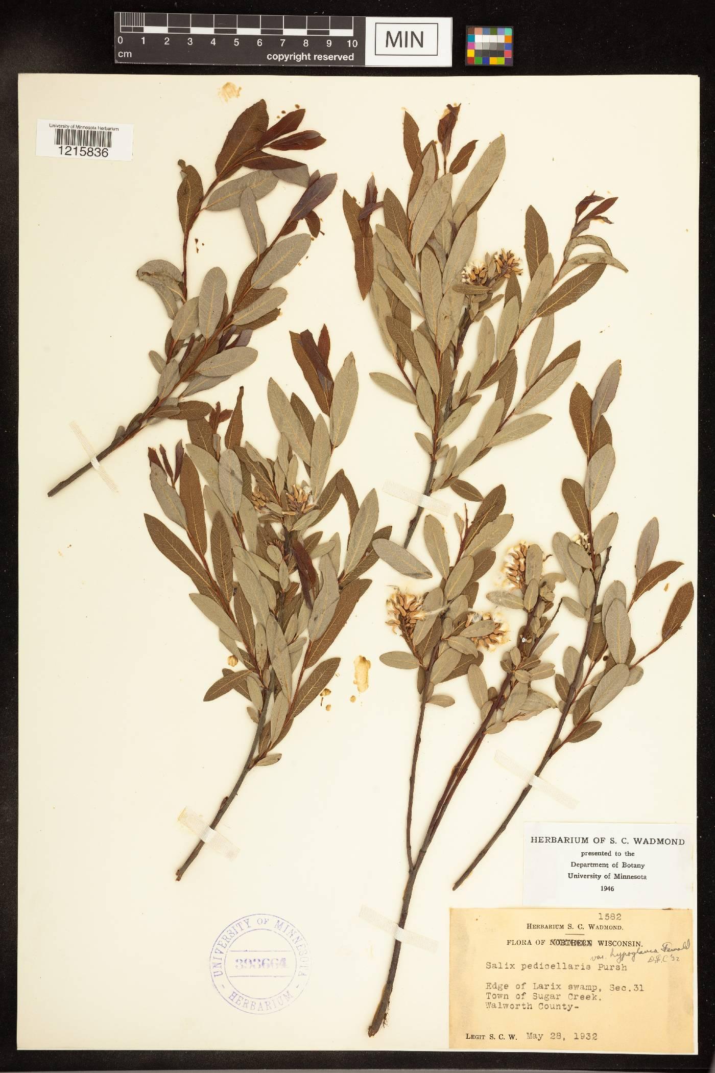 Salix pedicellaris image