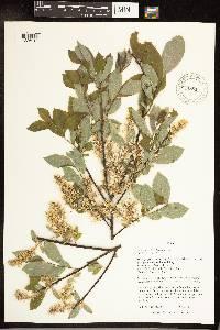 Salix bebbiana image