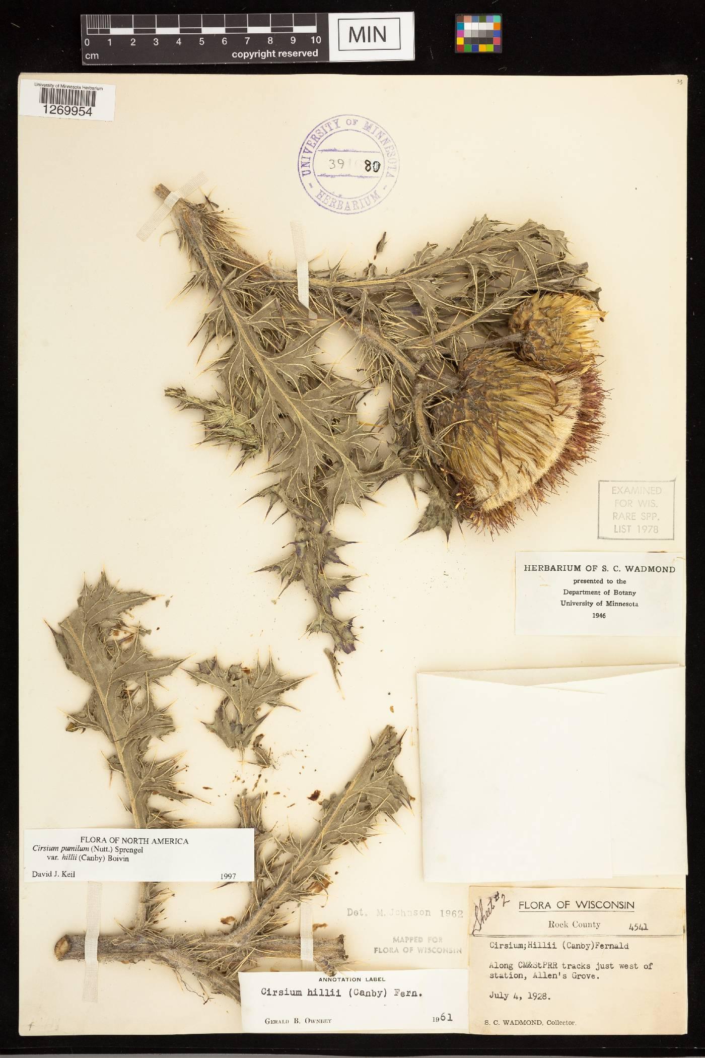 Cirsium pumilum var. hillii image