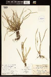 Carex backii image