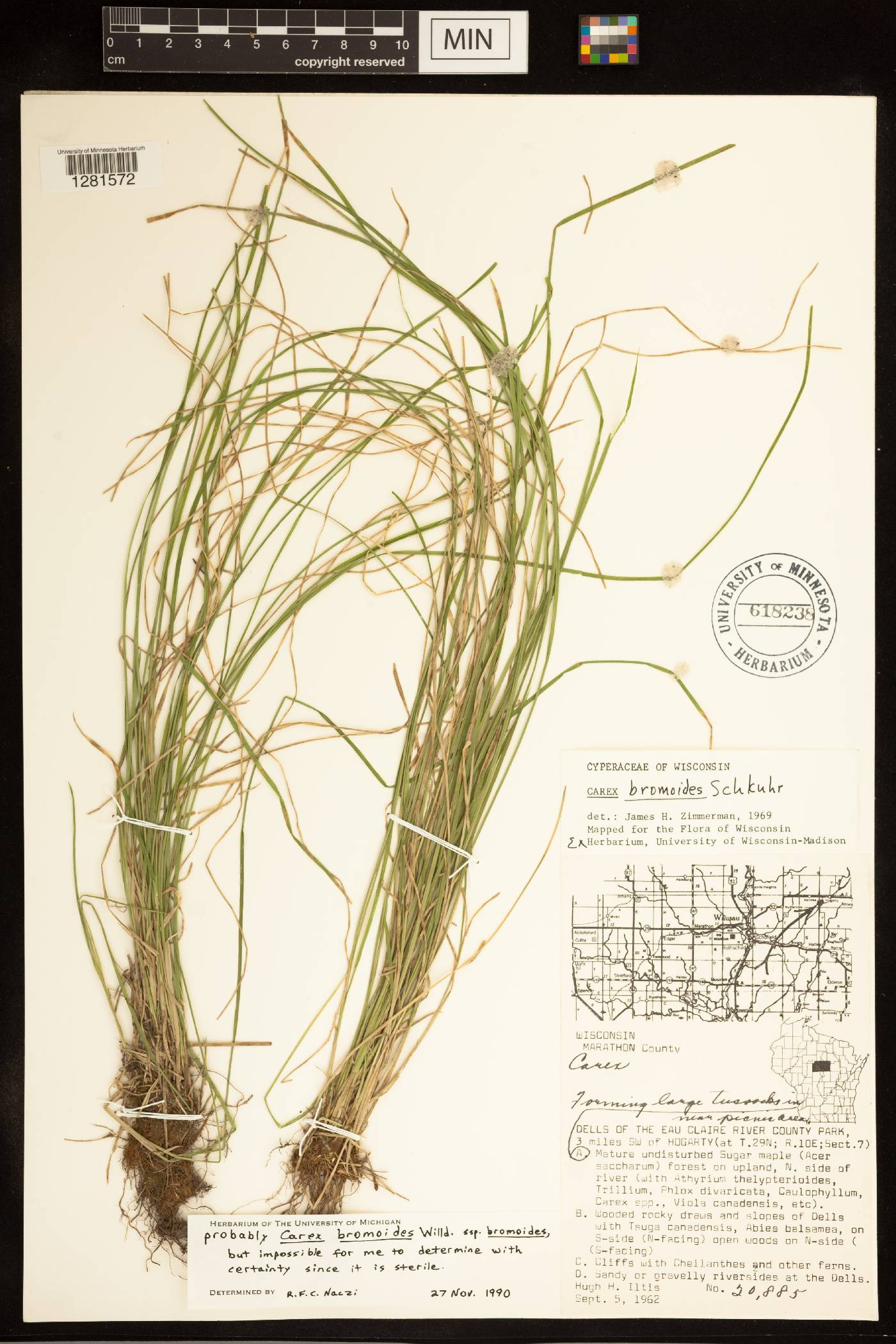Carex bromoides subsp. bromoides image