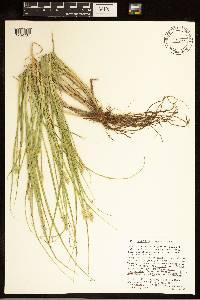 Carex cumulata image