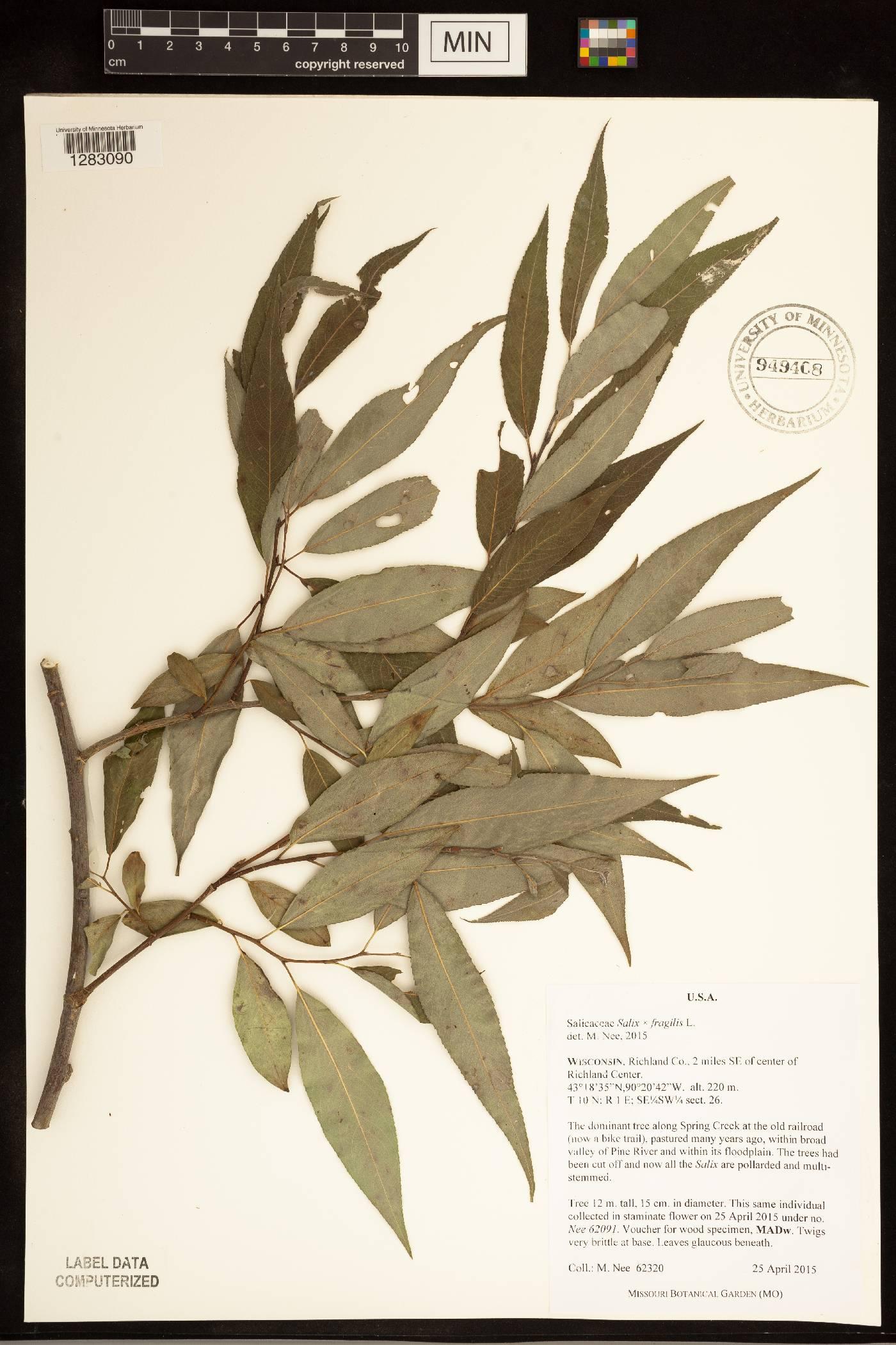 Salix x fragilis image